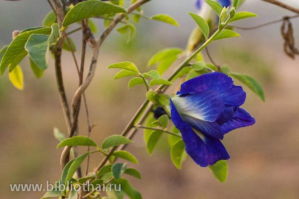синий чай таиланд описание свойства